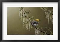 Framed Black Throated Green Warbler