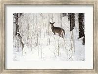Framed Deep Snow- Whitetail