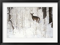 Framed Deep Snow- Whitetail