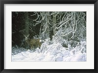 Framed Snow Palace - Mule Deer