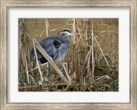 Framed Early Spring - Great Blue Heron