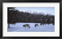 Framed Evening Glow- Wolf Pack