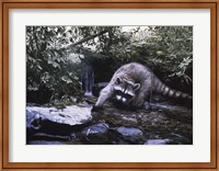Framed Searching The Stream- Racoon