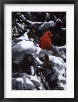 Framed Cardinal In Blue Spruce