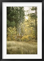 Framed Autumn Aspen - White Tailed Deer