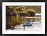 Framed Morning On The Lagoon - Mute Swan