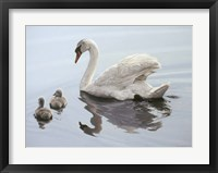 Framed Mute Swan And Two Cygnets
