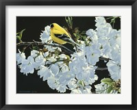 Framed Goldfinch And Blossoms