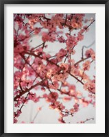 Framed Cherry Blossoms I
