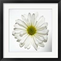 Framed White Daisy II