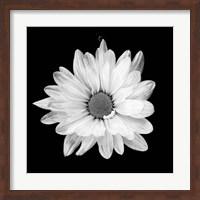 Framed White Daisy I