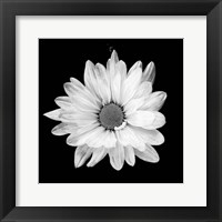 Framed White Daisy I