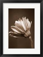 Framed Sepia Flower II