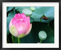 Framed Purple Lotus II