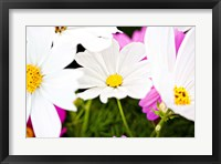 Framed Daisies I