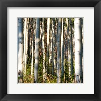 Framed Aspen Grove I