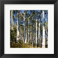 Framed Aspen Grove II