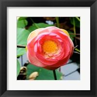 Red Lotus I Framed Print