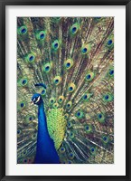 Framed Royally Blue I