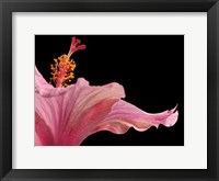 Framed Hibiscus 1