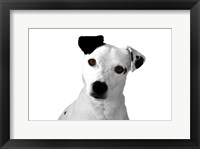 Framed Jack Russell Buddy 2