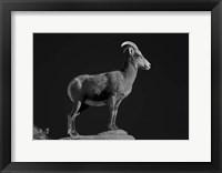 Framed Bighorn Portrait