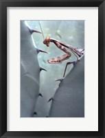 Framed Mantis Agave