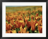 Framed Californian Poppies
