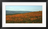 Framed Californian Poppy Field