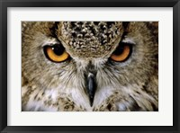 Framed Eagle Owl
