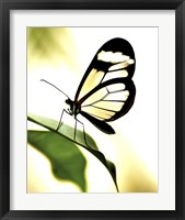 Framed Transparent Butterfly