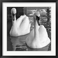 Framed Swans In Love BW