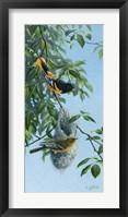 Framed Nesting Orioles