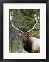 Framed Large Elk