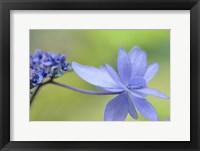Framed Blue Hydrangea