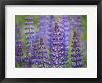 Framed Blue Lupine Flowers