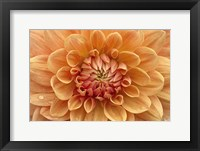 Framed Orange Dahlia