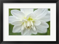 Framed White Dahlia