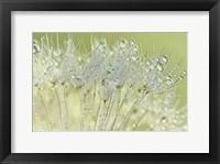 Framed Dandelion Dew I