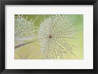 Framed Dewy Dandelion