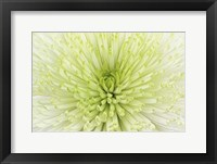 Framed Lime Light Spider Mum