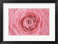 Framed Pink Persian Buttercup Flower