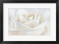 Framed Pure White Rose