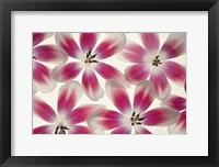 Framed Ruby Red and White Tulips