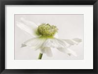 Framed White Anemone Flower