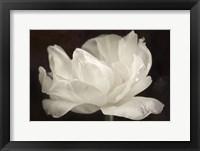 Framed White Tulip III