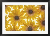 Framed Yellow Cape Dasies