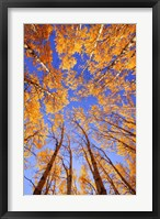 Framed Yellow Trees View from Below
