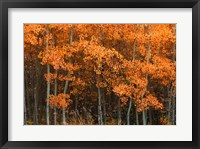 Framed Orange Trees