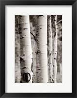 Framed Aspens I